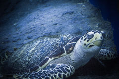 Turtle. Water Sea Animal Shell Life Reef Fins Nature Stock Image