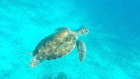 Turtle in the water. Swimming turtle in Tulum Mexico Royalty Free Stock Photos