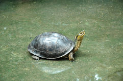 Turtle on Wet Floor Royalty Free Stock Photo