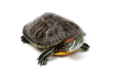 Turtle on white background Stock Image