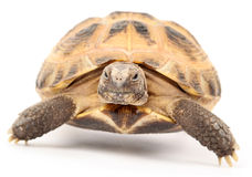 Turtle on white background Royalty Free Stock Photography