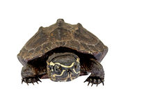 Turtle on white background Stock Images