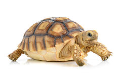 Turtle on white background Royalty Free Stock Images