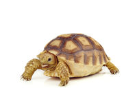 Turtle on  white background Stock Photography