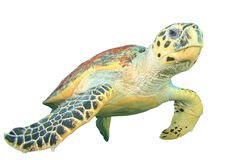 Turtle on white Royalty Free Stock Image