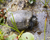 Turtle in the wild Stock Photos