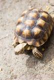 Turtle on the wild safari park.  Royalty Free Stock Photography