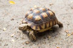 Turtle on the wild safari park. Turtle on the wild safari park Royalty Free Stock Photos