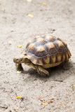 Turtle on the wild safari park.  Stock Photo