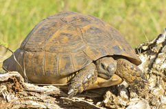 Turtle in the wood Stock Photography