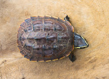 Turtle on wooden background Royalty Free Stock Photo