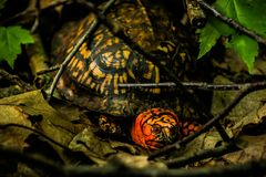 turtle in the woods stock photos