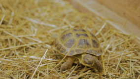 Turtle yawn and slowly crawl forward. At zoo stock footage