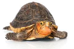 Turtle Royalty Free Stock Image