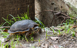 Turtle with yellow line  in head at the garden with grass Royalty Free Stock Photography