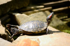 Turtle in yoga pose basking in the sun Stock Photos