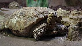Turtle in zoological garden stock footage