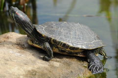 turtle2 Zdjęcie Royalty Free