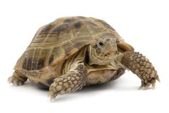 Turtle2 Royalty Free Stock Photo