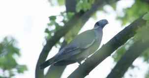 Turtledove στον κλάδο δέντρων απόθεμα βίντεο