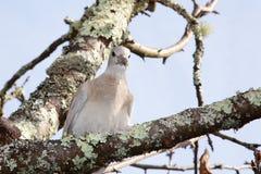 Turtledove голубя воротника которое подобно голубю садить на насест на дер стоковое фото rf