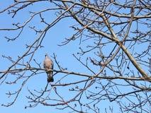 Turtledove птицы на чуть-чуть ветвях Стоковые Изображения