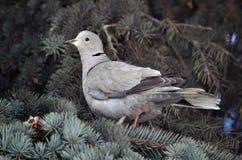 Turtledove сидит на ветви спруса Стоковое Изображение RF