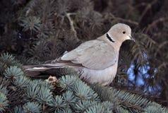 Turtledove сидит на ветви спруса Стоковая Фотография