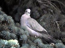 Turtledove сидит на ветви спруса Стоковые Фото