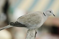 Turtledove. Taking break after long flight Royalty Free Stock Photography
