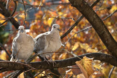Turtledove Stock Photo