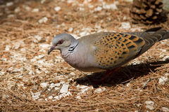 Turtledove Stockfotografie