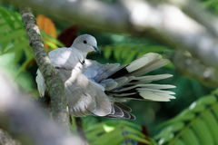 turtledove Royaltyfria Foton