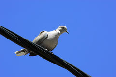 Turtledove. Taking break on te wire after long flight Royalty Free Stock Images