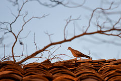 turtledove Photos libres de droits