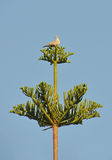 Turtledove on araucaria tree Stock Image