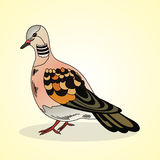 Turtledove. Aviculture and poultry. Stock Photos