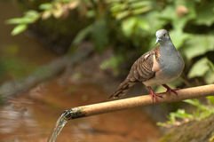Turtledove. A turtledove (Bahasa Indonesia Perkutut) stop on a water pipe Royalty Free Stock Photography