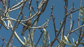 Turtledove. Beautiful  turtledove with olive tree stock footage