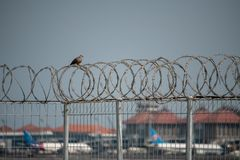 A turtledove bird perched on a barbed iron wire and rusty with a background view of the plane terminal of the Ngurah Rai Bali royalty free stock photos