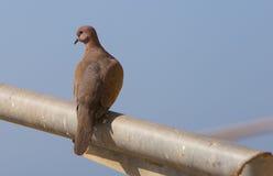 Turtledove. Bird of a turtledove sitting on a crossbeam Stock Image