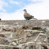 Turtledove bird on stone wall of patio in Athens. Travel to Greece - turtledove bird on old stone wall of patio in historical neighborhood Plaka near Acropolis Royalty Free Stock Image