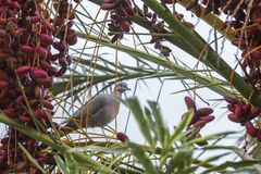 Turtledove in Date tree at Kissamos in Crete royalty free stock photo