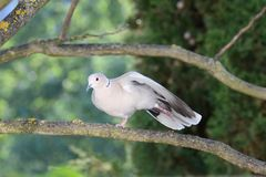 Turtledove does its evening gyms Royalty Free Stock Image