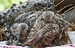turtledove dove стоковая фотография