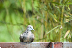 Turtledove. Dove sitting on the iron bar in the morning Stock Photos