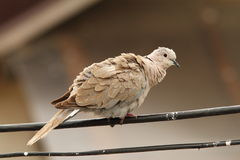Turtledove on electric wire. Turtledove on standing electric wire ( Streptopelia decaocto Stock Image