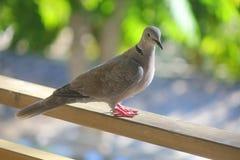Turtledove on the fence. A turtledove on the fence Royalty Free Stock Image
