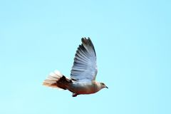 Turtledove in flight over sky Stock Image
