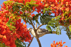Turtledove in a flowering tree Stock Images